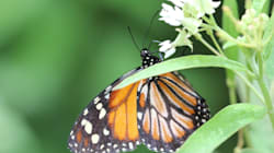 This Plant Is a Monarch Butterfly's Best Defence Against