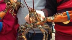 Les premiers homards gaspésiens sont
