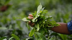 Climate Change Is Slowly Killing Assam's Tea