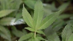 Medical Marijuana: Tories To Smoke Out Individual