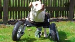 まるでサイボーグ犬 3Dプリンタで造られた犬用車椅子がすごい(動画)