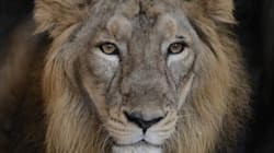 Gir Now Has 523 Asiatic Lions, 27% Increase Since
