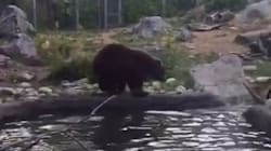 GRAPHIC: Silly Goose Learns It Can't Outfly A Grizzly