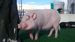 ► Wilbur The Pig Is Vancouver's Best