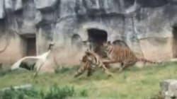 Une grue fait face à trois tigres... et gagne le