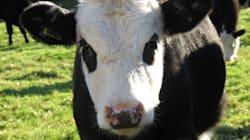Canada Food Inspection Looking Into Mad Cow Case In