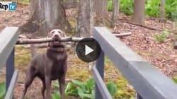 Ecco come riesce a passare sul ponte con un bastone senza incastrarsi