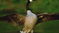 The Battle Over A Canada Goose Named