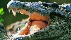 Un crocodile arrache la main d'une