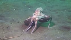 Ce poulpe se promène avec sa noix de