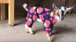 Baby Goats In Pajamas Are Simply The