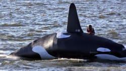 Cette fausse orque devait déloger des otaries, c'est complétement