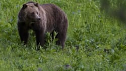 Park Authorities Won't Hunt Down Grizzly Who Killed