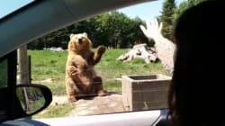 Quest'orso ha capito