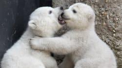 Pour que l'ours polaire ne soit plus la vache à lait des