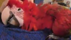 VIDÉO - Ce perroquet est très heureux qu'on lui caresse la