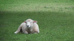 A Former Shepherd Wants Sheep To Cut The Grass In