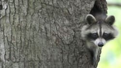 Raccoon Attack Trial Held Over Until