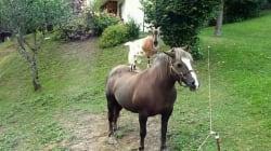Les chèvres savent aussi monter à