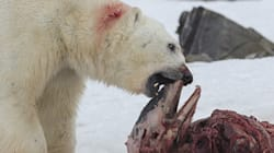Polar Bears Are Dining On Dolphin. The Reason Why Affects Us