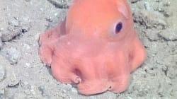 Finalmente il polpo Dumbo rosa ha un