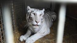 La tigre bianca nascosta nel magazzino uccide il proprietario