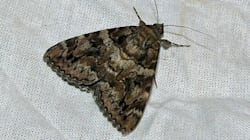 Le nouvel antimites ? Piéger les papillons de nuit en les faisant s'accoupler entre