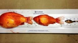 Les poissons rouges à l'assaut des cours d'eau