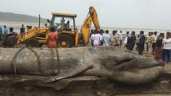 Blue Whale Dies After Being Stranded For Almost A Day On Alibaug