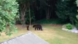 ► Baby Bear Can't Get Enough Of B.C. Backyard