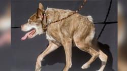 Quasi Modo, le chien le plus laid du monde 2015 (qui est en fait adorable)