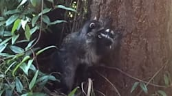 VIDÉO - Ce raton laveur apprend à son petit à grimper dans les