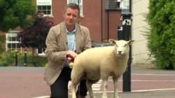 Ce journaliste voulait raconter l'histoire attendrissante de cet agneau, mais...