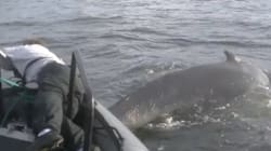 3rd Tangled Whale This Week Runs Into Trouble In