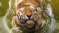 Tiger Gives Birth To 2 Cubs At Winnipeg
