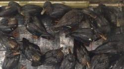 Dozens Of Ducks 'Soaked' In Toronto Oil