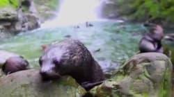 Cientos de focas bebés y su épico baño en una cascada