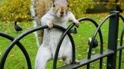 Des écureuils deviennent