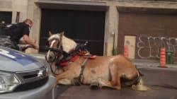 La SPCA contre les calèches à Montréal