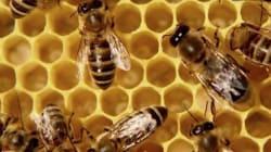 Plus d'une abeille sur six est