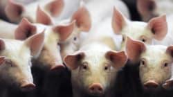 Jambon ibérique à la française, porc fermier... ces autres idées qui pourraient sortir la filière de la