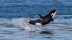 Baby Orca Has A Grand Time Off The B.C.