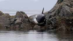 Stranded B.C. Orca Saved After Hours Of Help From Some