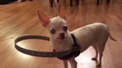 Grace à ça, ce petit chien aveugle n'a plus peur de se
