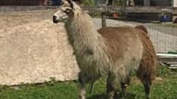 Llama Attack 'A Nightmare,' Senior