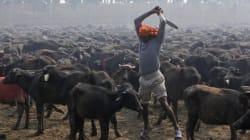 Killings No More In Nepal Gadhimai