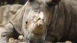 Plus que quatre rhinocéros blancs du Nord dans le