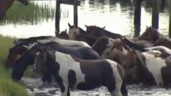La grande traversée des poneys en Virginie