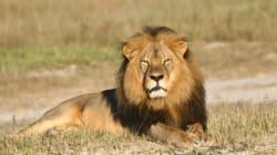 Quelles leçons tirer de la mort du lion