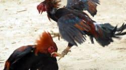 Combat de coqs: l'interdiction de nouveaux gallodromes conforme à la